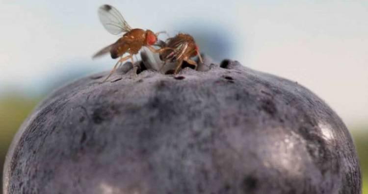 """Plaga de moscas de """"alas manchadas"""" está afectado la producción de berries de la provincia de Linares"""